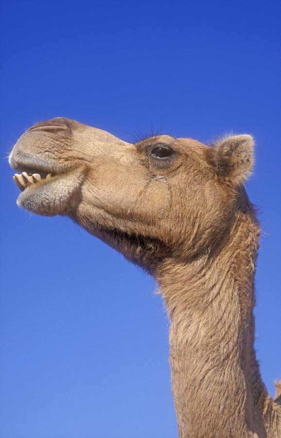 Верблюд аравийца или дромадера, dromedarius Camelus стоковое изображение