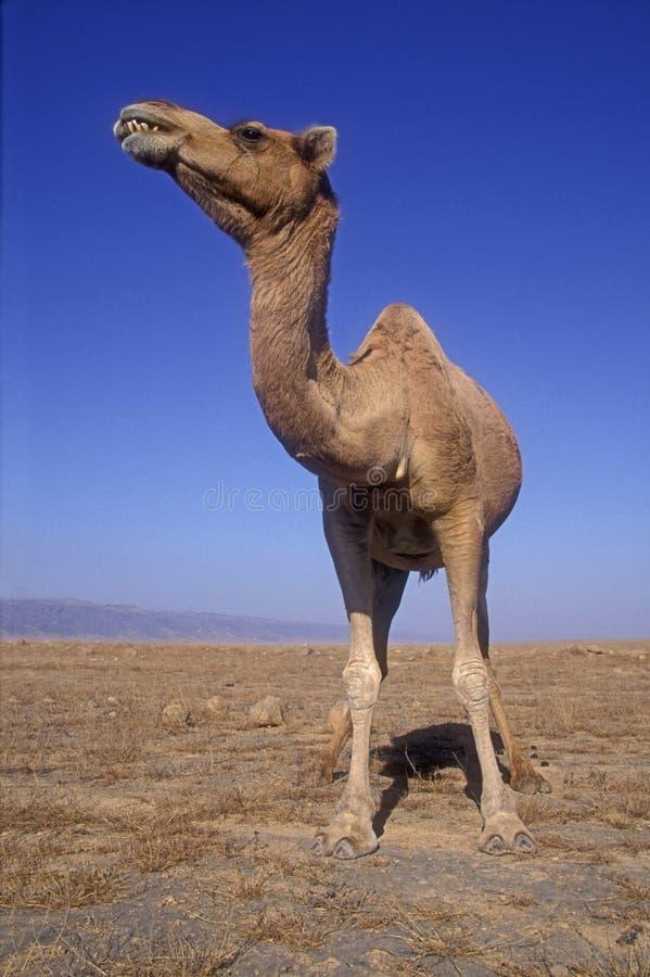 Верблюд аравийца или дромадера, dromedarius Camelus стоковое фото rf