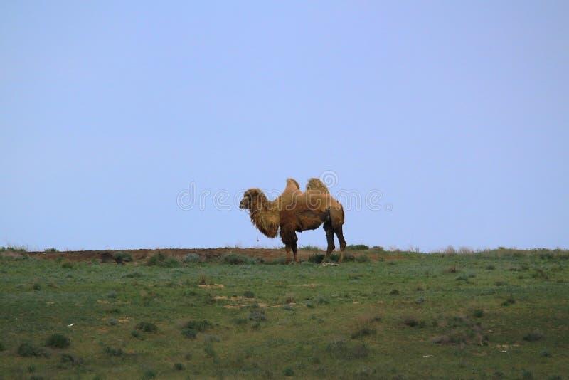 Верблюд в степи стоя на времени весны стоковое изображение