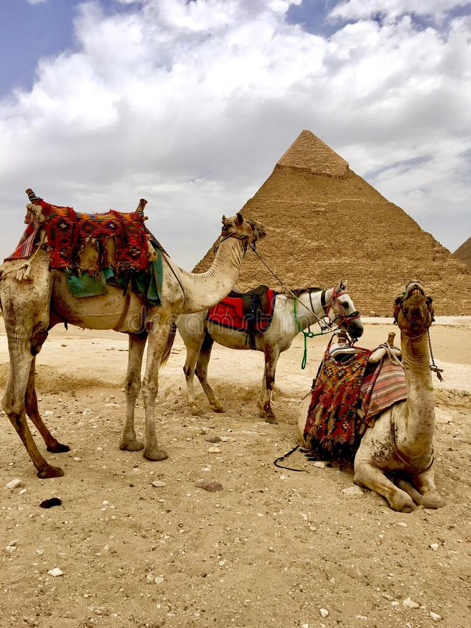 Верблюд и пирамидки Египет стоковые изображения