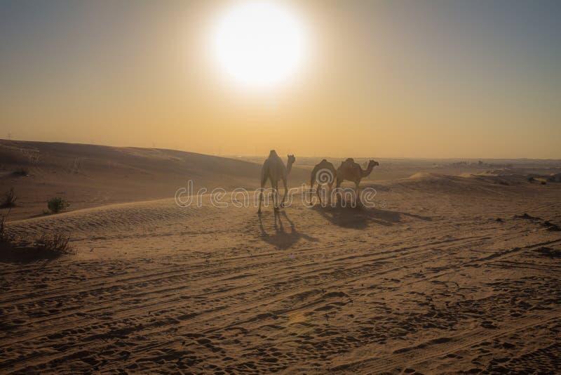 Верблюды в Дубай стоковое фото rf