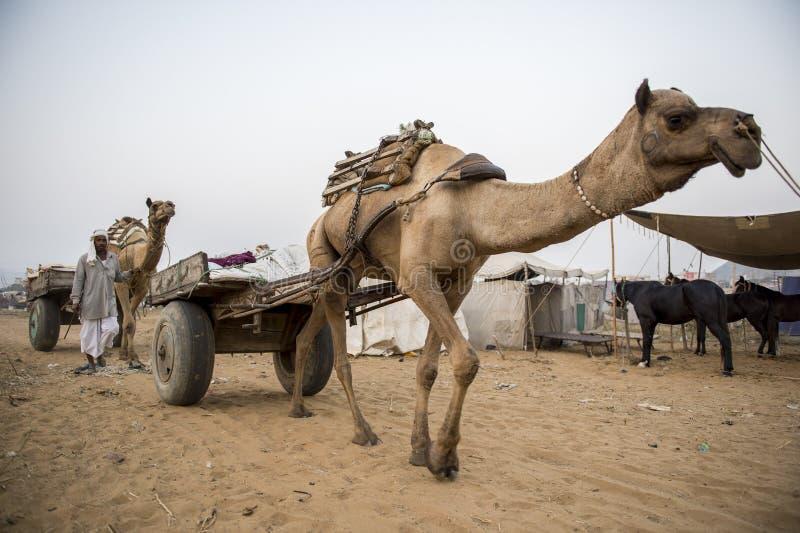 Верблюды в Индии на Pushkar стоковое фото