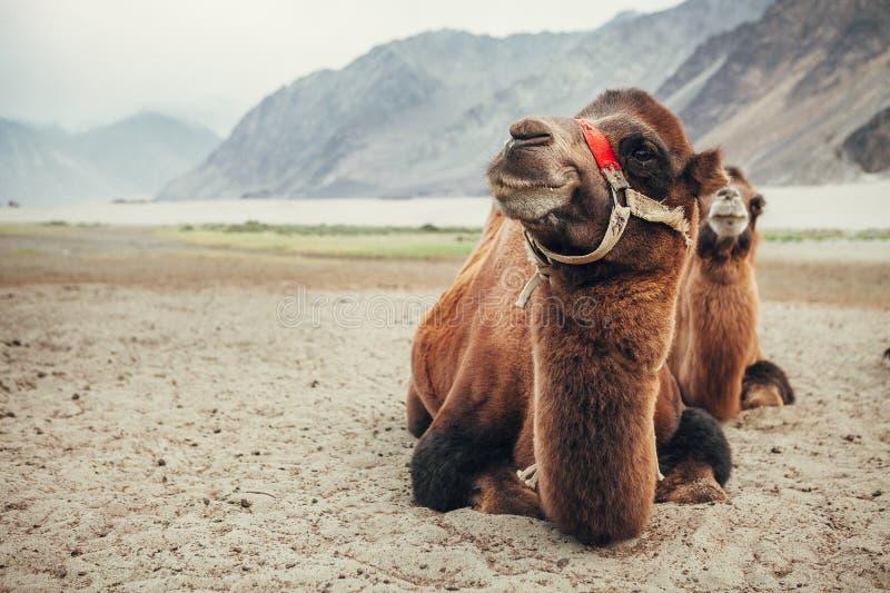 Верблюды в долине Nubra стоковые фотографии rf