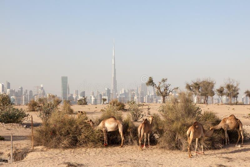 Верблюды в пустыне Дубай стоковые фото