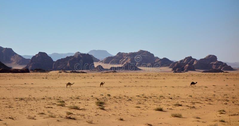Верблюды в пустыне стоковая фотография rf