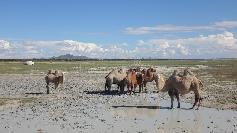 Верблюды в пустыне стоковые изображения rf