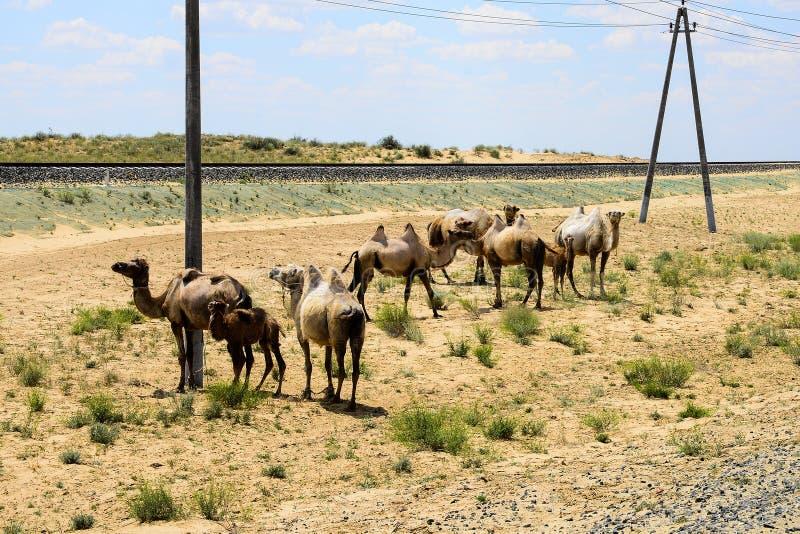 Верблюды на железной дороге стоковое изображение rf