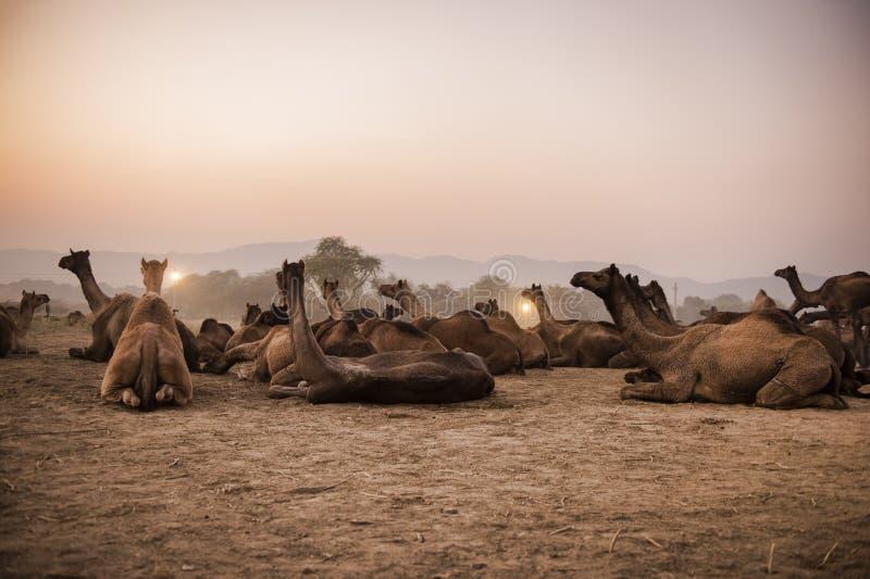 Верблюды на международной ярмарке Pushkar стоковое изображение rf