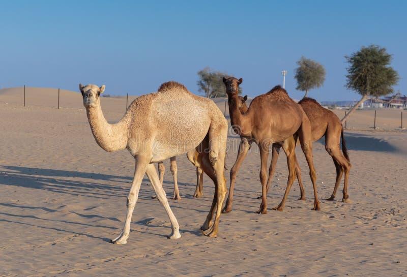 Верблюды на ферме в Дубай стоковые изображения rf
