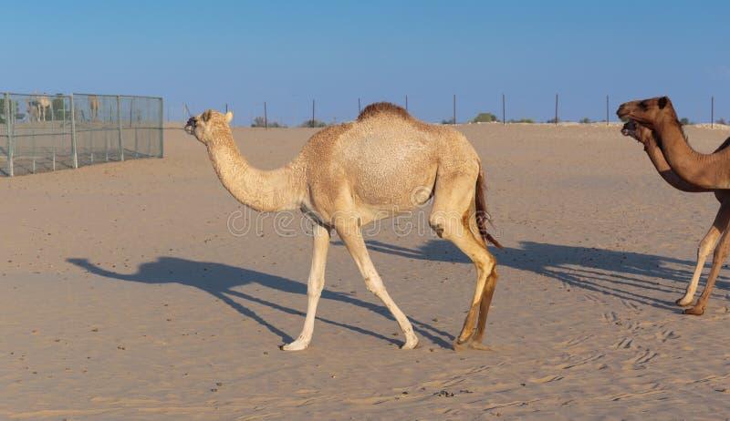Верблюды на ферме в Дубай стоковые изображения