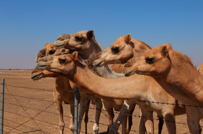 Верблюды на ферме стоковое фото