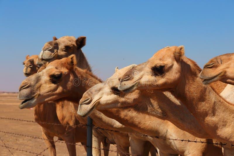 Верблюды на ферме стоковые фотографии rf