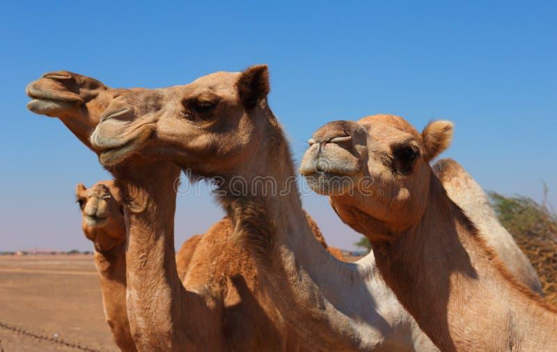 Верблюды на ферме стоковое фото rf