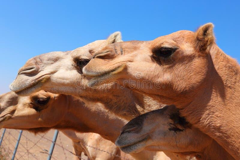 Верблюды на ферме стоковое изображение
