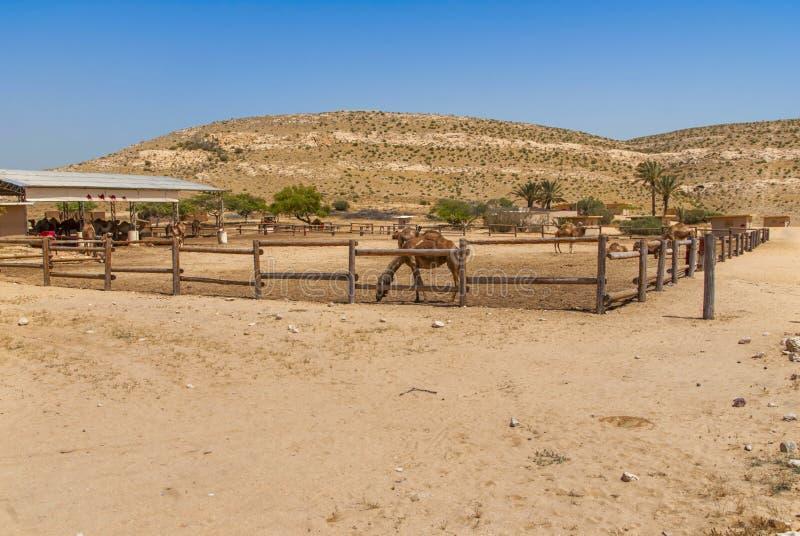 Верблюды на ферме стоковое изображение rf