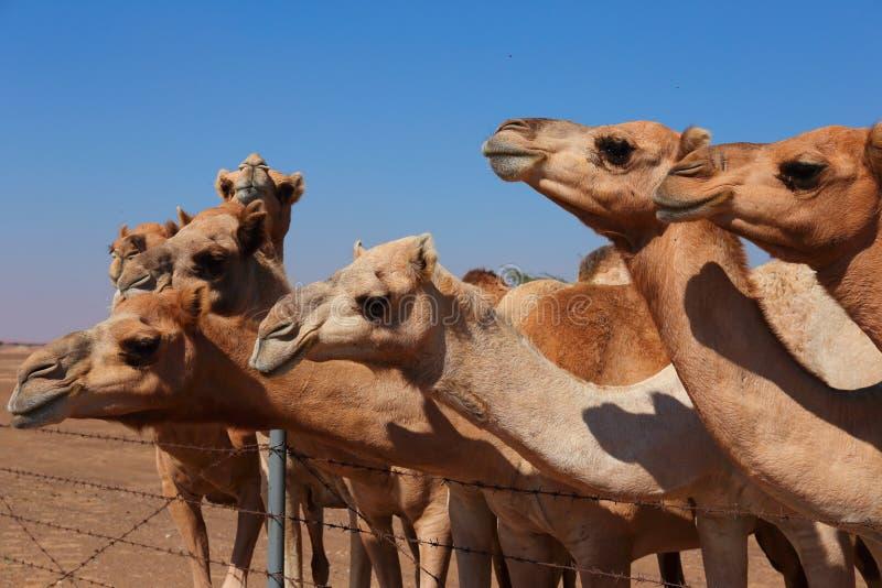 Верблюды на ферме стоковая фотография rf