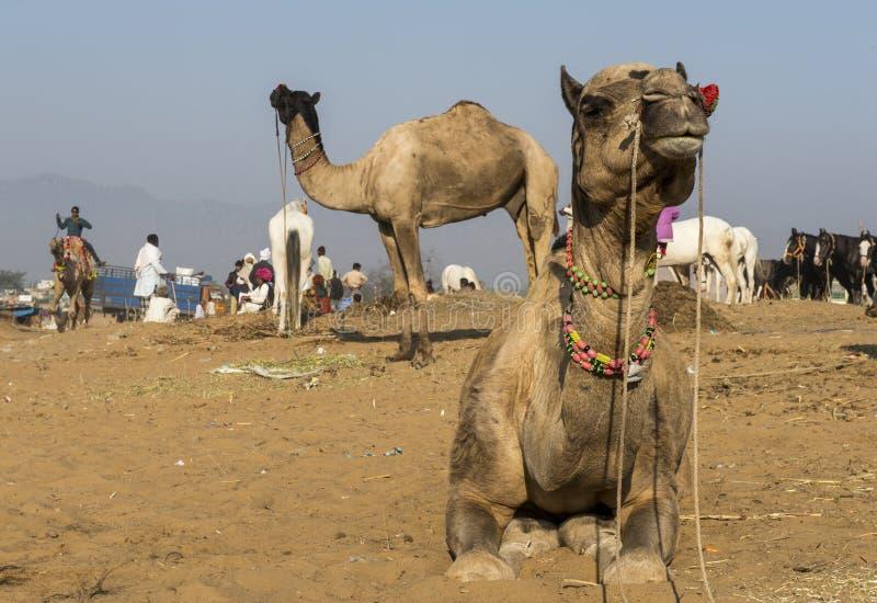 Верблюды на Pushkar стоковое фото rf