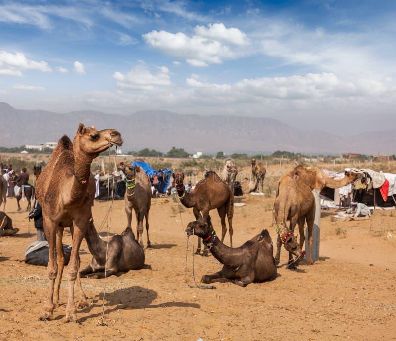 Download Верблюды на Pushkar Mela (верблюде справедливом), Индии Pushkar Стоковое Фото - изображение насчитывающей индийско, случаи: 33738072