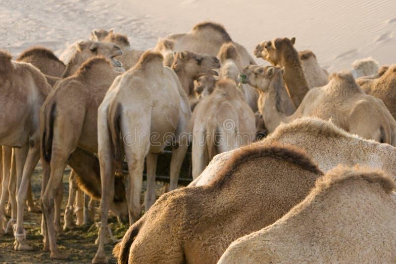 Верблюды ОАЭ Дубай подавая на ферме в пустыне вне Дубай стоковое изображение rf