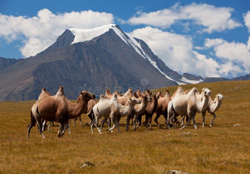 Верблюды табуна против горы. Горы Алтай стоковое фото