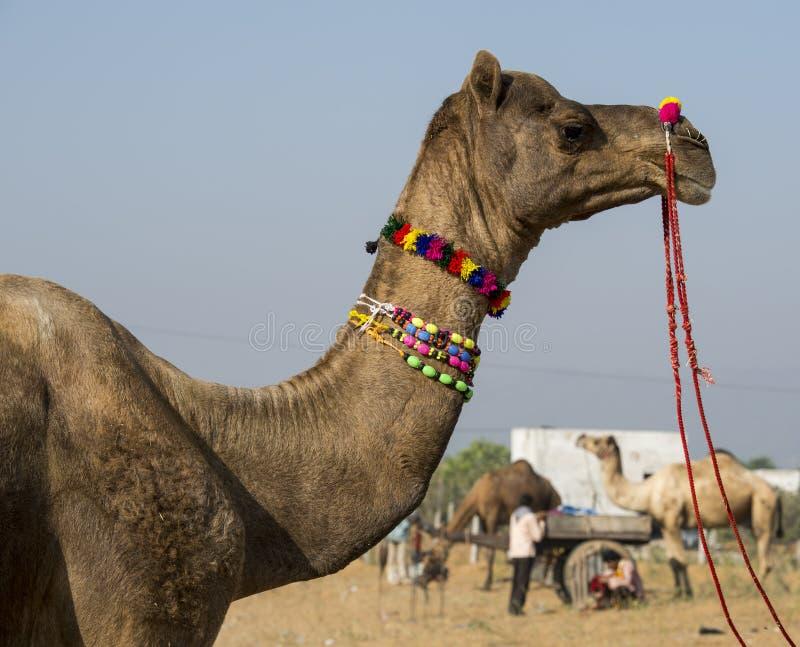 Верблюд Pushkar международный справедливый стоковые изображения rf