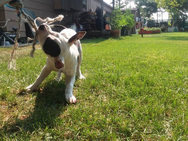 Веревочка игр щенка вытягивая стоковые фото