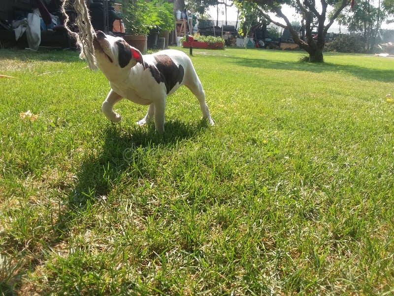 Веревочка игр щенка вытягивая стоковая фотография rf