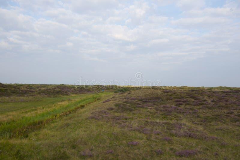 Вереск на острове Texel стоковые изображения