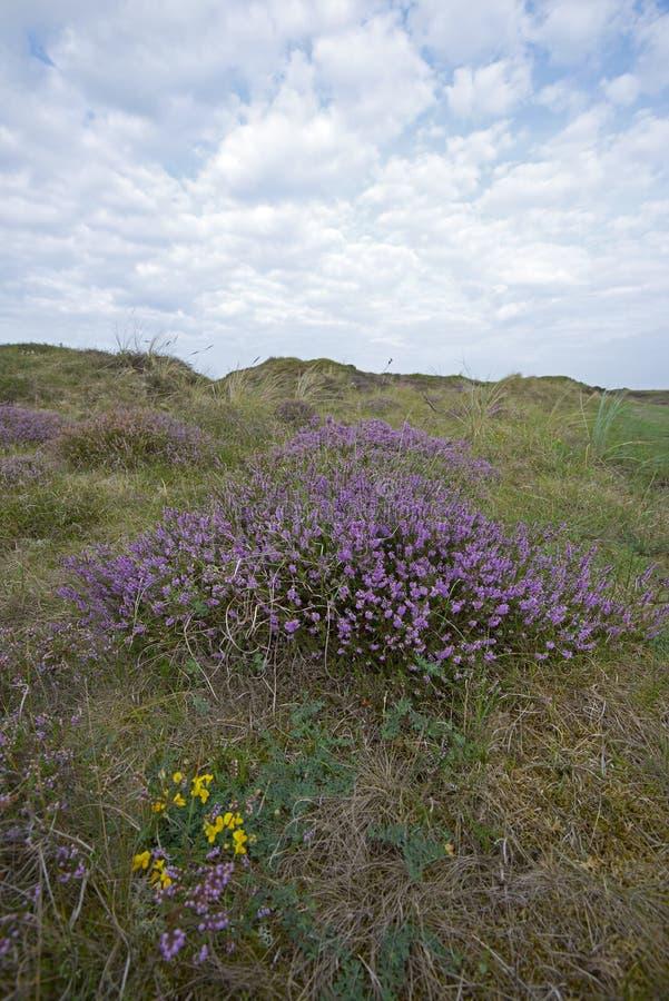 Вереск на острове Texel стоковые фотографии rf