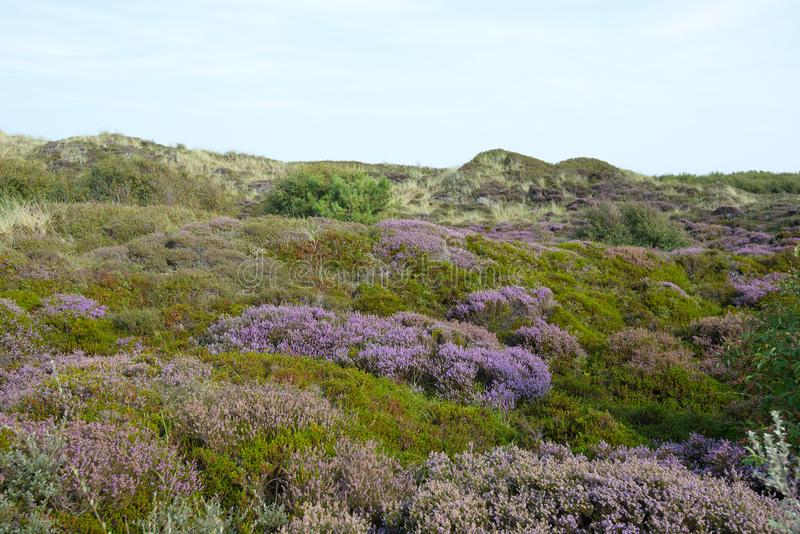 Вереск на острове Texel стоковая фотография