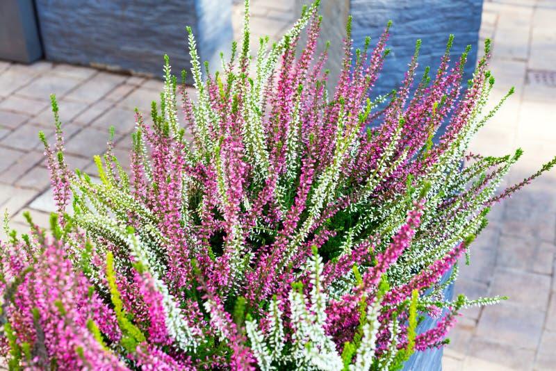 Вереск пинка, зеленых и пурпурных в декоративном цветочном горшке на открытом воздухе стоковое фото rf