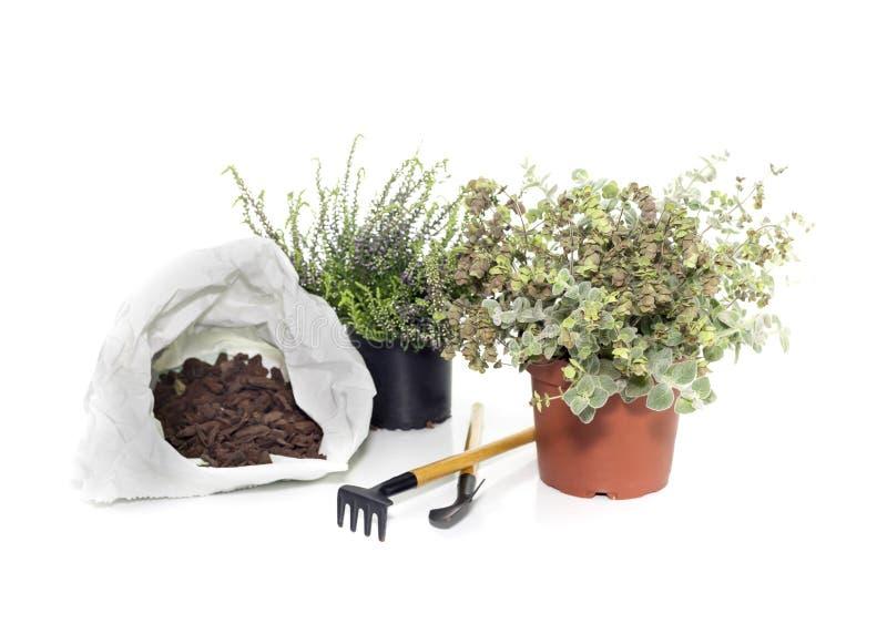 Вереск 2 полезный заводов vulgaris и dictamnus Origanum стоковое фото