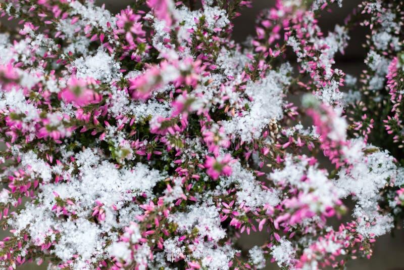 вереск Вереск Snowy красный vulgaris Vulgaris вереска покрытое с снегом Текстура, идя снег стоковое изображение rf