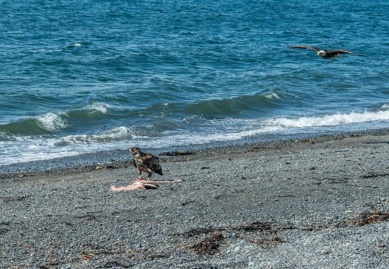Вертел почтового голубя, Аляска стоковое фото