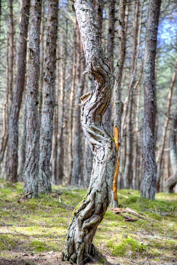 Вертел Curonian, танцуя лес на круглой дюне стоковые фото
