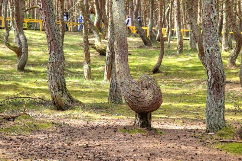 Вертел Curonian, танцуя лес на круглой дюне стоковые изображения
