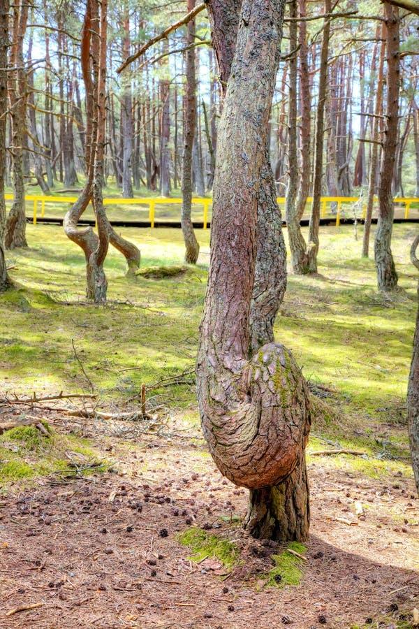 Вертел Curonian, танцуя лес на круглой дюне стоковые изображения rf