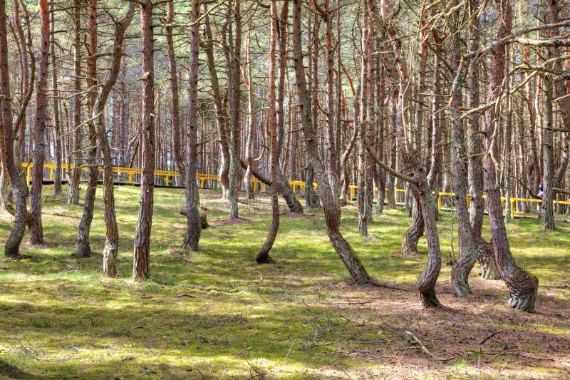 Вертел Curonian, танцуя лес на круглой дюне стоковое изображение