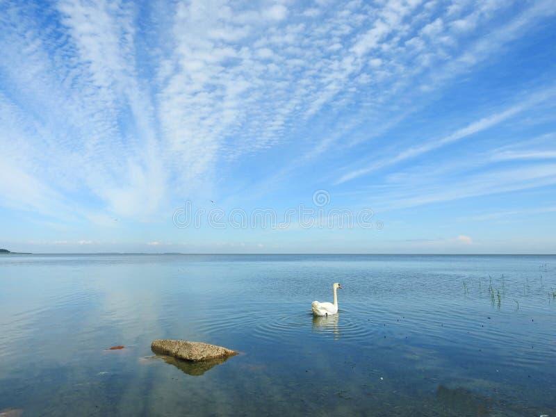 Вертел Curonian и лебеди, Литва стоковые фото