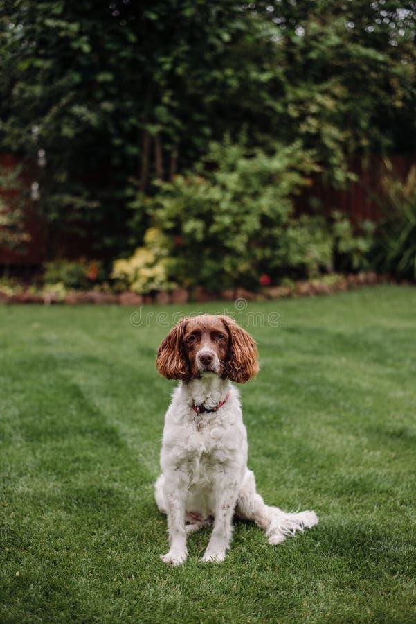 Вертикальная съемка белой и коричневой собаки с красным поводком на зеленой траве стоковые фотографии rf