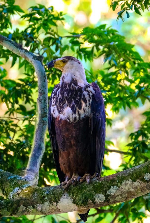 Вертикальная съемка коричневого орла сидя на ветви дерева с запачканной естественной предпосылкой стоковое фото
