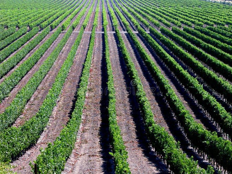 вертикальные виноградники стоковая фотография