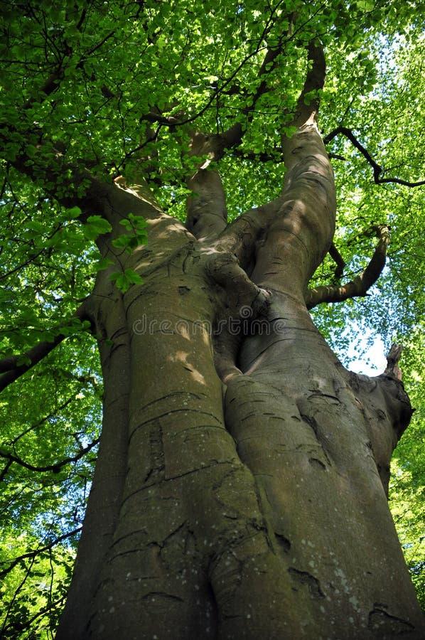 Вертикальный взгляд высокорослого старого дерева бука на утре весны с живым зеленым цветом выходит при голубое небо и солнечный с стоковые фото
