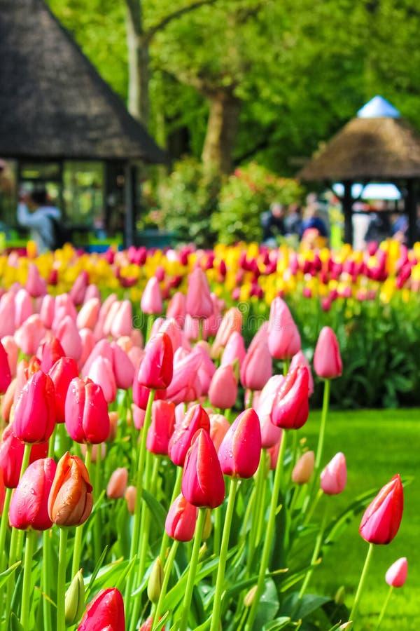 Вертикальный конец вверх по изображению красных и розовых тюльпанов с запачканной предпосылкой Голландский парк в Keukenhof, Голл стоковые фото