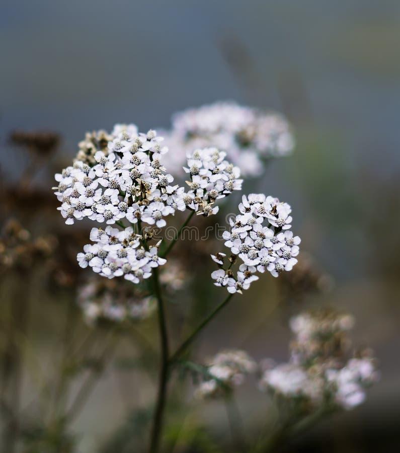 Вертикальный яркий белый фон предпосылки bokeh цветков Норвегии стоковые изображения rf