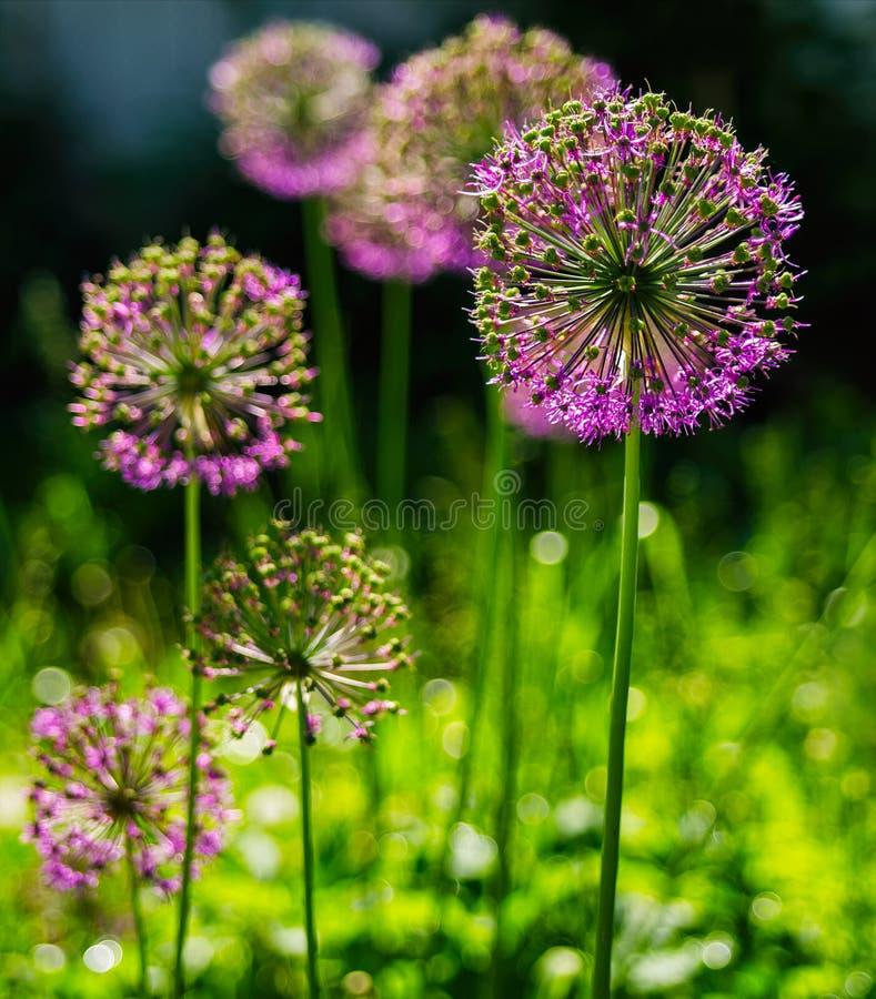 Вертикальное живое фиолетовое bokeh цветка стоковые изображения