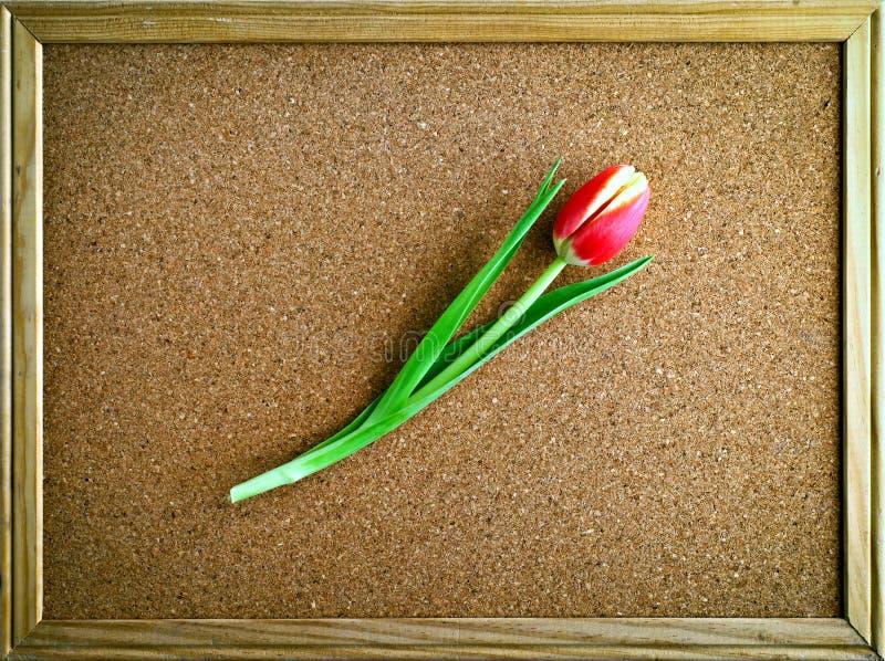 Красный тюльпан в рамке стоковое изображение rf