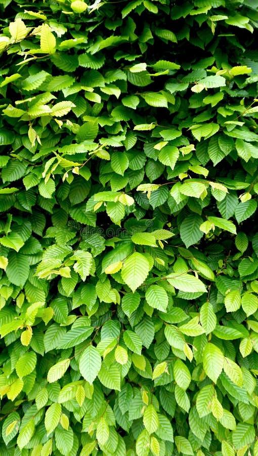 Вертикаль загородки стены зеленого растения стоковые изображения