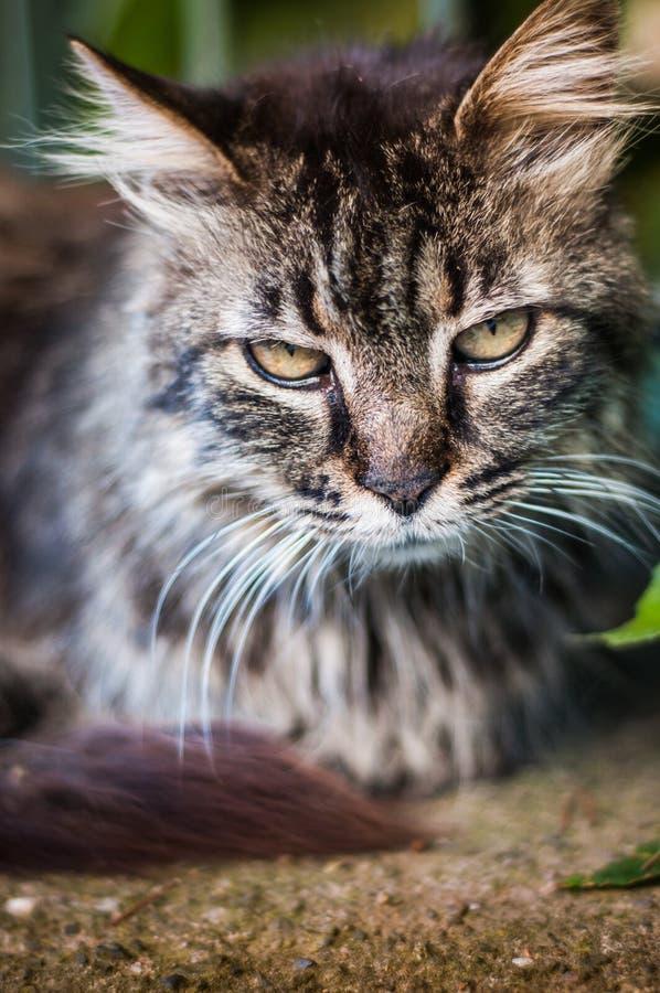 Download Вертикаль портрета кота стоковое изображение. изображение насчитывающей глаза - 41650731
