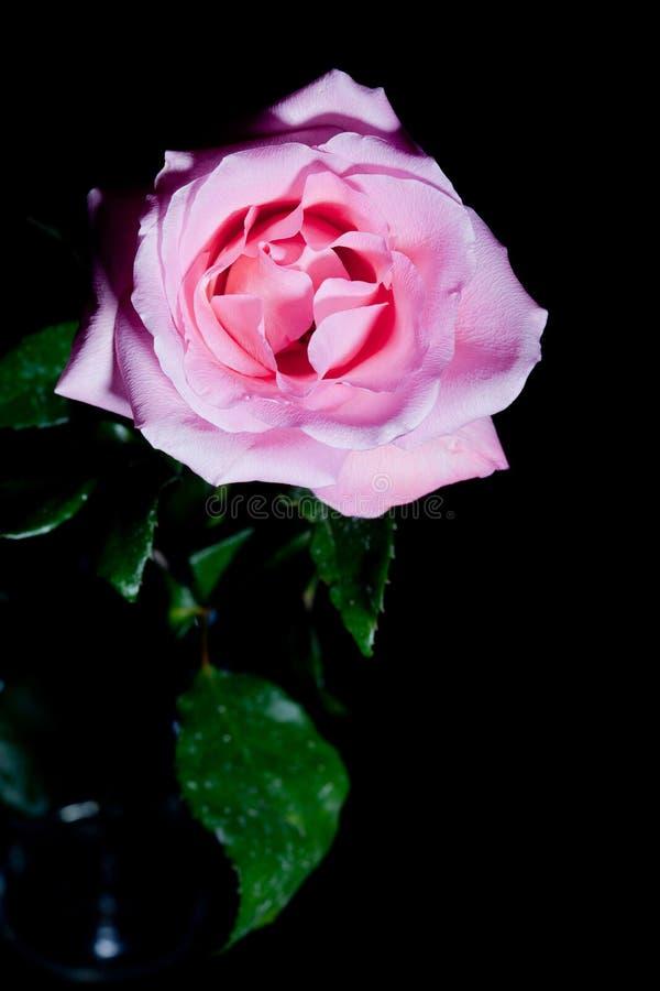 Вертикаль розы пинка над чернотой стоковая фотография